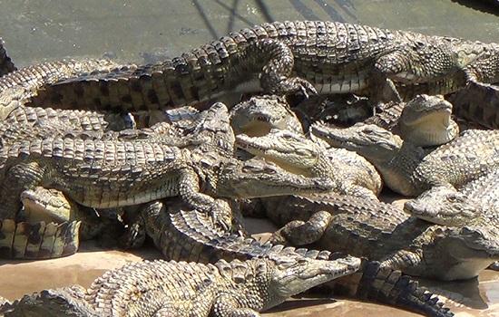 Crococile